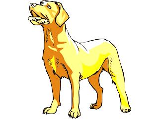 Labrador Retriever Champangner
