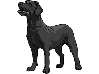 Labrador Retriever Charcoal