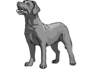 Labrador Retriever Silber